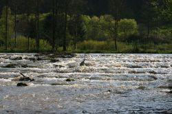 Reiher beim Fischfang