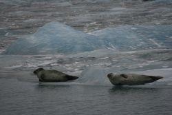 Robben in der Gletscherlagune
