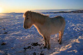 Islandpferde auf der Weide sind schwer zu fotografieren