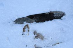 Robbenfelle im Eis