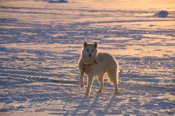 Schlittenhund auf dem Meereis