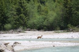 ein Reh überquert vor uns den Fluß