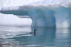 Kormoran vor Eisberg