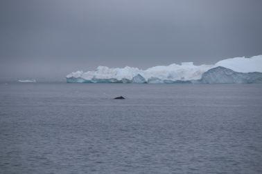Wal mit Eisberg