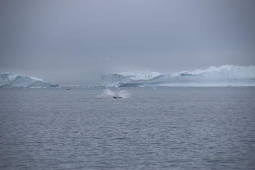 Wal kurz nach einem Sprung