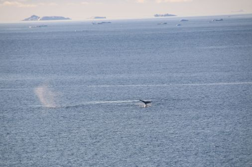 immer wieder Wale
