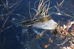 Zentimeterdickes Eis auf den Pfützen