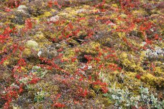 Die Tundra hat sich inzwischen herbstlich verfärbt