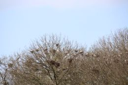 die Bäume gegenüber sind voller Nester