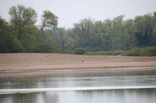 Hase auf der gegenüberliegenden Sandbank