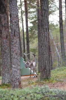 Zelt mit Rentier
